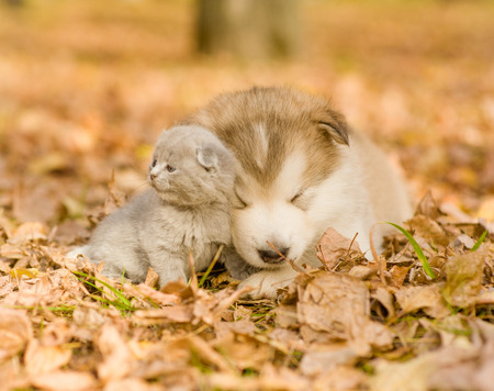 lying on leaves: tiny dog and a cat lying together on the autumn leaves. Stock Photo