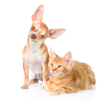 tilt: Tiny chihuahua puppy and maine coon cat together. isolated on white background.