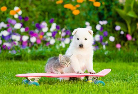 Het witte Zwitserse puppy van de Herder `s en gestreepte katkatje op vleet.