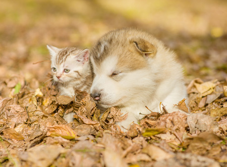 cute puppy: Sleepy puppy lying together with kitten on fallen leaves.