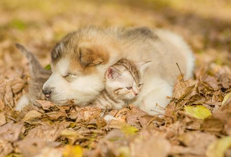 puppy and kitten: Sleeping puppy embracing kitten on autumn leaves. Stock Photo