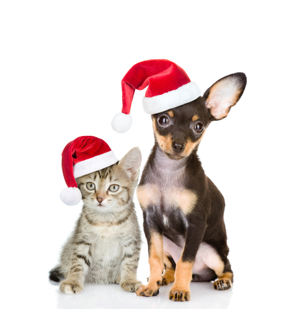 toyterrier: Tabby cat and toy-terrier puppy dog sitting together in red santa hats. isolated on white background.