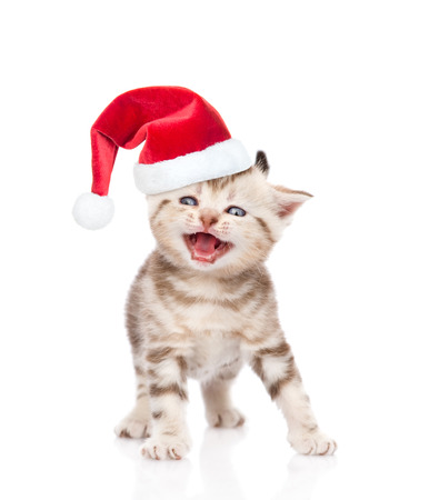mewing: Mewing kitten in red christmas hat. isolated on white background.