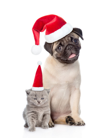 carlin: Funny pug puppy sitting and tiny scottish cat in red christmas hats. isolated on white background.