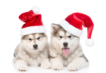 christmas hat: Two alaskan malamute puppies in red santa hats. isolated on white background.