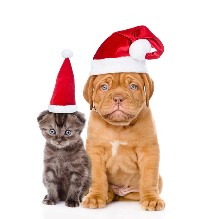 animal sad face: Sad puppy and small kitten in red santa hats sitting together. isolated on white background.