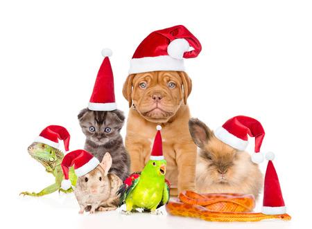赤いクリスマス帽子のペットの大規模なグループ。白い背景上に分離。 写真素材