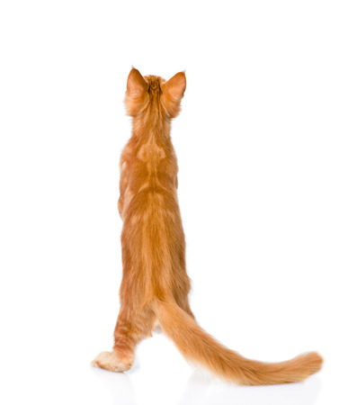pussy yellow: maine coon cat standing in back view. isolated on white background.