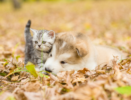 autumn cat: Scottish cat and alaskan malamute puppy dog together in autumn park.