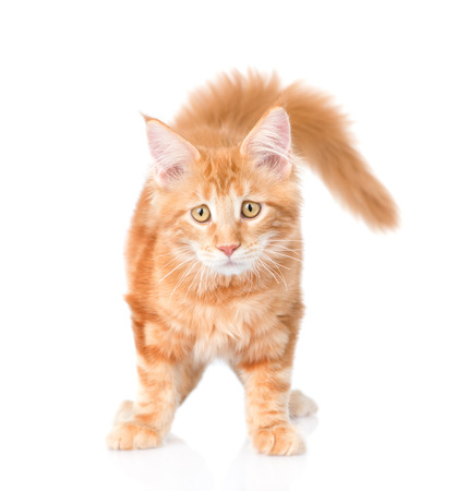 animal sad face: Sad maine coon cat looking at camera. isolated on white background. Stock Photo