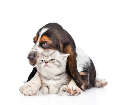 dog cat: basset hound puppy embracing tiny kitten. isolated on white background. Stock Photo