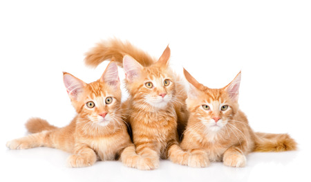 tabby cat: Group of small ginger maine coon cats lying in front view. isolated on white background. Stock Photo