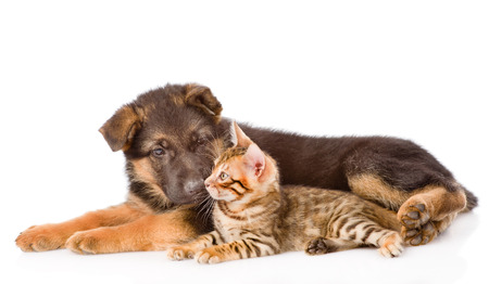 white cats: German shepherd puppy dog sniffs bengal cat. isolated on white background.