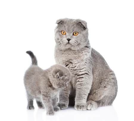 lop eared: Mother cat and little kitten sitting together. isolated on white background.