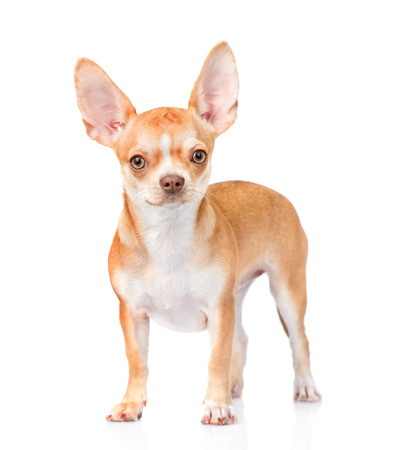 cane chihuahua: Chihuahua cucciolo in piedi nella vista frontale. isolato su sfondo bianco.