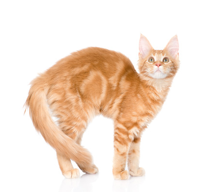 Arched cat standing in side view. isolated on white background. Stock Photo