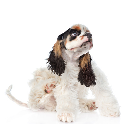 fleas: Cocker Spaniel puppy scratching. isolated on white background. Stock Photo