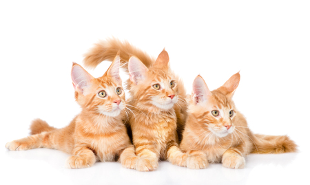 white cat: Group of small ginger maine coon cats lying in front view. isolated on white background. Stock Photo