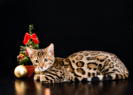cute christmas: Bengal cat with christmas tree on dark background.