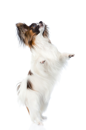 hind: Papillon puppy standing on hind legs. isolated on white background.