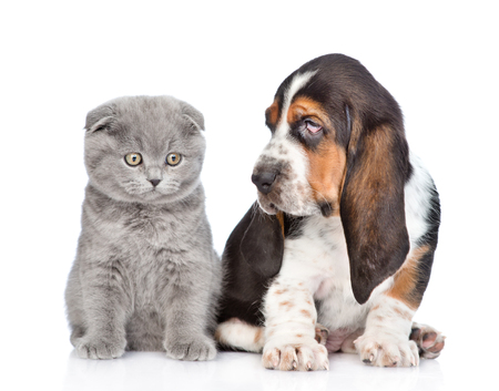 dogs sitting: Gray kitten sitting with basset hound puppy. isolated on white background.