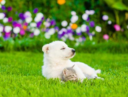 sniff dog: White Swiss Shepherd`s puppy hugging kitten on green grass.