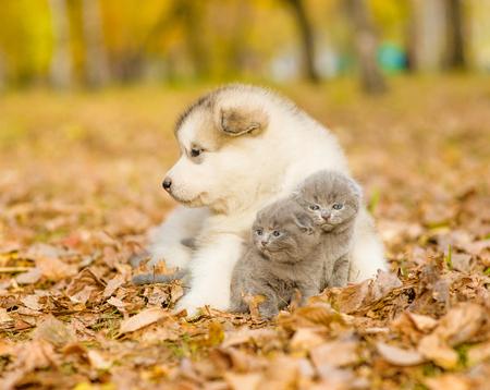 malamute: Alaskan malamute puppy hugging cute kittens in autumn park. Stock Photo
