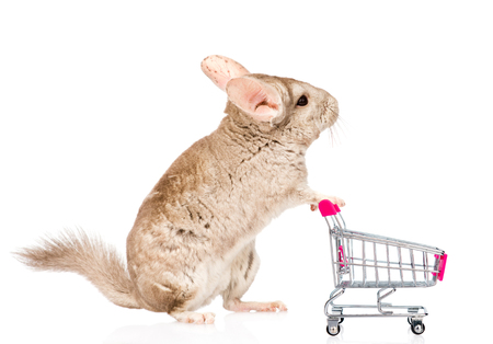 lanigera: Chinchilla with shopping trolley in profile. isolated on white background.