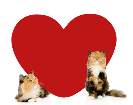 paramour: Happy cats with big red heart . Space for text. isolated on white background.