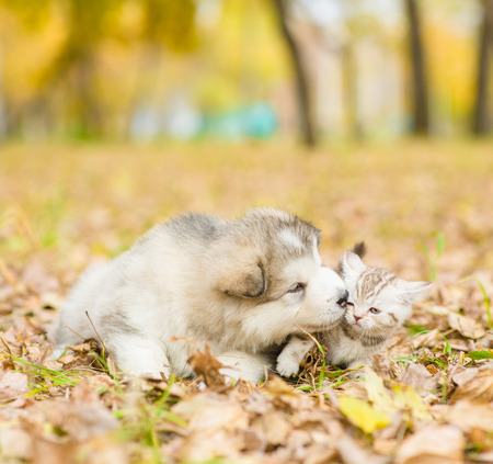 sniff dog: alaskan malamute puppy kissing scottish kitten in autumn park. Stock Photo