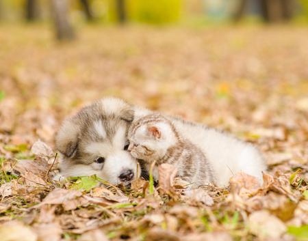 Alaska malamute cachorro juega con el gatito atigrado en parque del otoño.