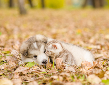 dog portrait: Alaskan malamute puppy playing with tabby kitten in autumn park.