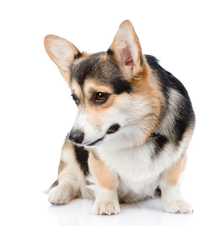 small dog: Pembroke Welsh Corgi looking down. isolated on white background.