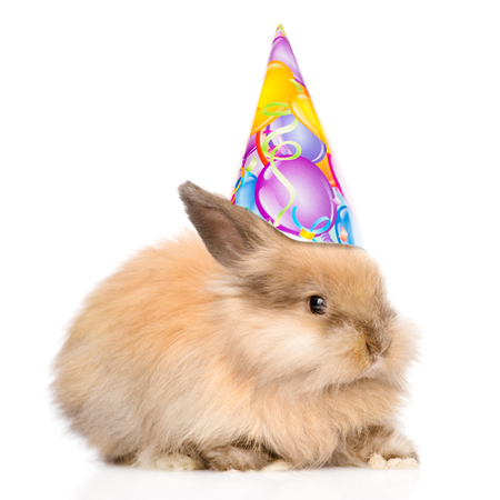 lop eared: Rabbit in birthday hat l looking at camera. isolated on white background. Stock Photo