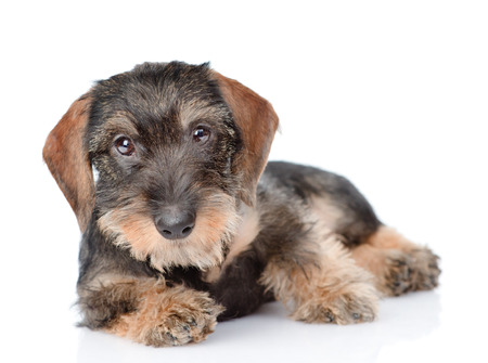 haired: Standard Wire-haired dachshund puppy. isolated on white background.