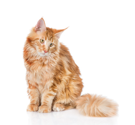 maine coon: Maine coon cat looking away. Isolated on white background. Stock Photo