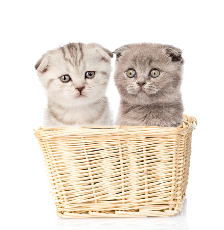 lop eared: two kittens sitting in a basket. Isolated on white background.