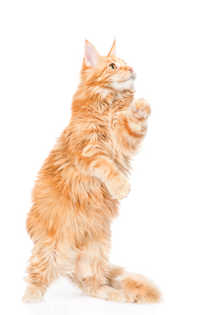 white playful: Playful maine coon cat standing on hind legs. isolated on white background.