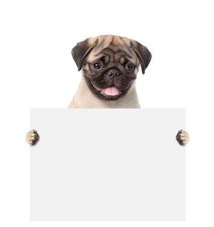 carlin: Dog holding a white banner. isolated on white background. Stock Photo