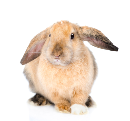 jhy: Lop-eared rabbit looking at camera. isolated on white background. Stock Photo