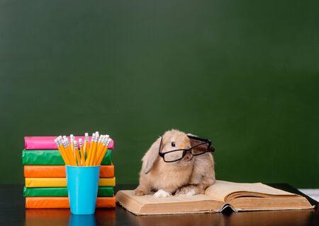 conejo: Conejo con lentes que se sientan en los libros cerca de la pizarra verde vacía.