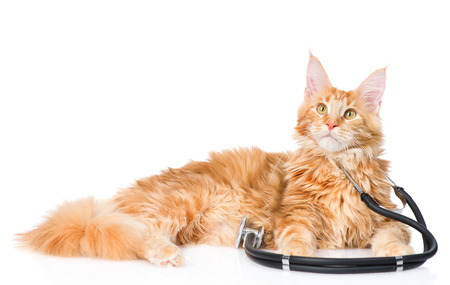 maine coon: Maine coon cat with a stethoscope. isolated on white background.