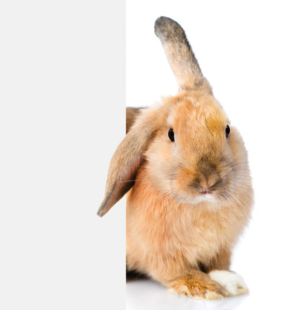Rabbit peeks out from behind a blank banner. Isolated on white background. Stock Photo