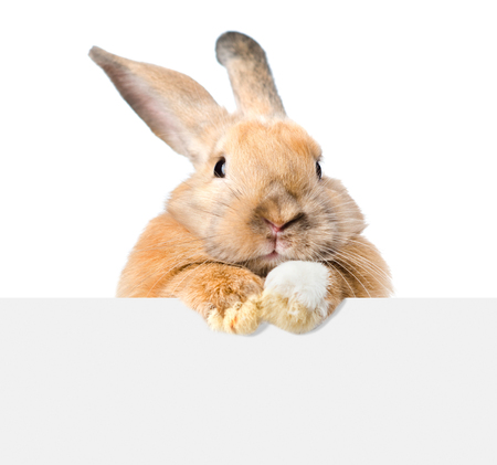 Rabbit looking over a signboard. Isolated on white background.
