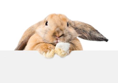 conejo: Conejo mirando por encima de un letrero. Aislado en el fondo blanco.