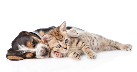 pet cat: Tabby kitten and sleeping basset hound puppy lying together. isolated on white background. Stock Photo