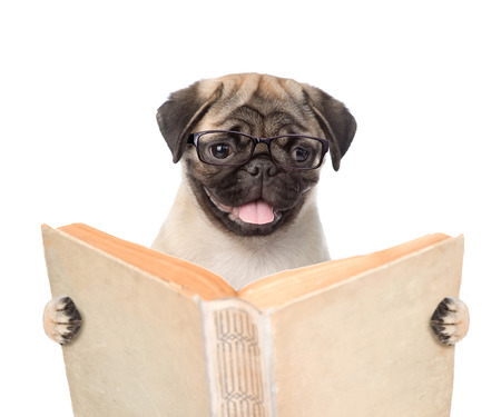 Pug puppy holding open book. isolated on white background.