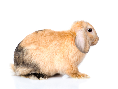 jhy: Lop-eared rabbit in profile. isolated on white background. Stock Photo