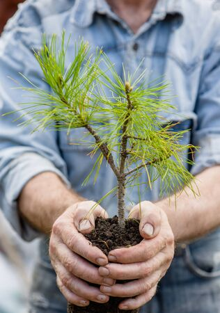 earth handful: male hands holding a seedling cedar with handful of earth.