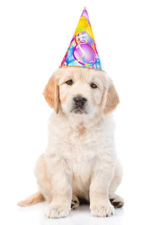 party hat: Golden retriever puppy in birthday hat looking at camera. isolated on white background.
